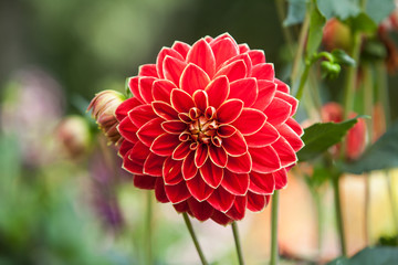 Keuken foto achterwand Dahlia Red Dahlias growing in a garden