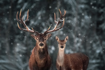 Photo sur Aluminium Cerf Noble deer male and female in winter snow forest.