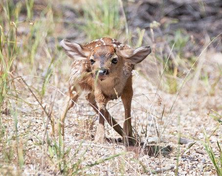 brand new baby deer in gravel trying to hide