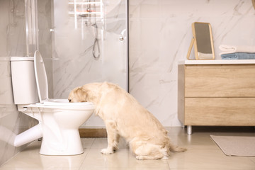Cute Golden Labrador Retriever drinking water from toilet bowl