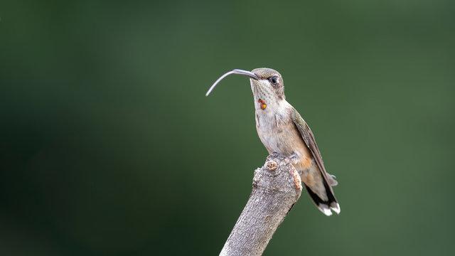 Hummingbird's Tongue