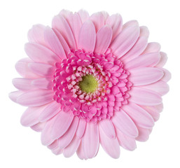 Poster de jardin Gerbera pink gerbera flower head isolated on white background closeup. Gerbera in air, without shadow. Top view, flat lay.