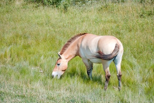 Persian Onager eating grass at summertime