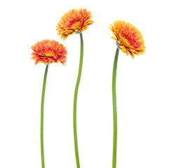 Tuinposter Gerbera three Vertical orange gerbera flowers with long stem isolated on white background