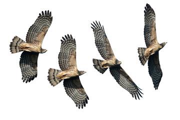 Set of oriental honey buzzards flying isolated on white background Fototapete