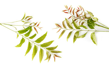 Neem leaves used as ayurvedic medicine with ground paste over white background, Used in skin care, beauty products and creams.