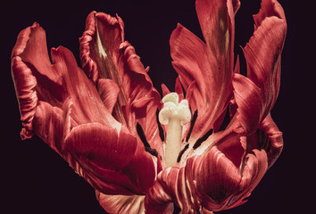 Vintage macro of the inner of an open red parrot tulip blossom spread with pollen on dark red black background