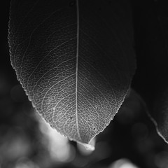 leaf with veins in backlight