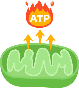 ATPを生み出すミトコンドリアの図
