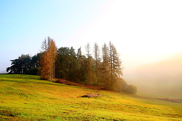 trees dying in forest due to disease spreading stock image stock photo