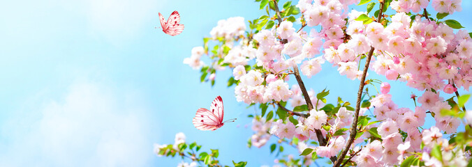 Branches blossoming cherry on background blue sky, fluttering butterflies in spring on nature outdoors. Pink sakura flowers, amazing colorful dreamy romantic artistic image spring nature, copy space.