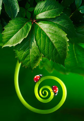 Fototapeta Beautiful juicy leaves and curl plants with two ladybugs macro glows in sun on dark green saturated background outdoors spring or summer. Best amazing image of purity and fragility of nature. obraz