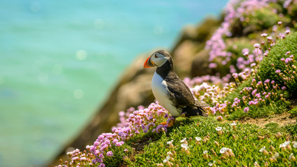 Fond de hotte en verre imprimé Oiseau Puffin Atlantic bird colors colorful Ireland coast island fauna life wildlife animal