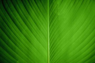 Closeup view of a green banana leaf
