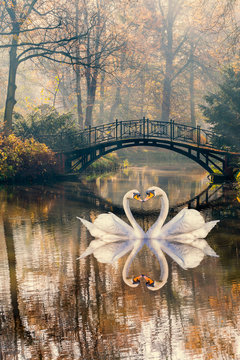 Heart shape of swans love mate for life in scenic view of misty pond autumn romantic landscape with beautiful old bridge in the garden with sun rays and fog.