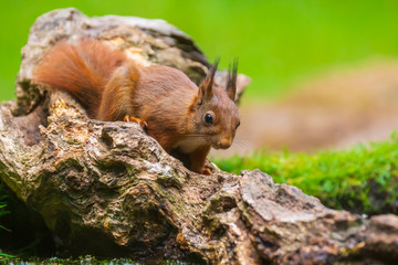 Türaufkleber Eichhornchen Closeup of a red squirrel, Sciurus vulgaris, seaching food and eating nuts in a forest.