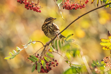 Aluminium Prints Bird Redwing Turdus iliacus bird, eating berries in a forest