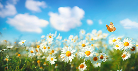 Wall Mural - Flowers daisies in summer spring  meadow on background blue sky with white clouds, flying orange butterfly, wide format. Summer natural idyllic pastoral landscape, copy space.