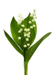 Photo sur Plexiglas Muguet de mai Lily of the valley