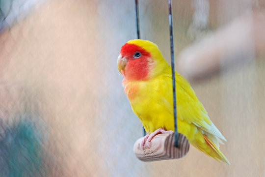 yellow parrot sits in a cage on a swing