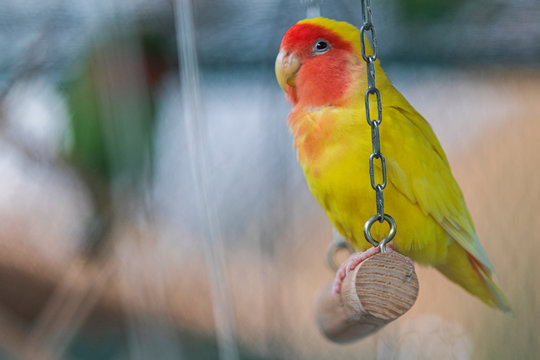yellow parrot with red cheeks sits in a cage on a swing
