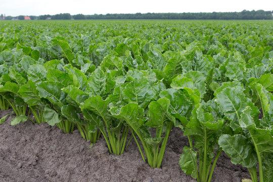 Field of sugarbeets. Agriculture. Netherlands. Flevopolder.