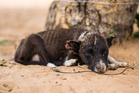 Sad, neglected, mistreated or abused and abandoned puppy dog lying in the sand, on a rope