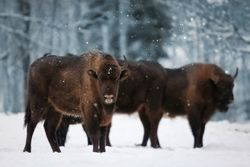 Wall Mural - Family of European bison in a snowy forest. Natural winter image.