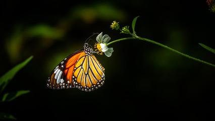 Common tiger butterfly (danaus genutia) on a flower. Nymphalidae,  Danainae. Photo shot in Vietnam (Hoang Su Phi, Ha Giang province).