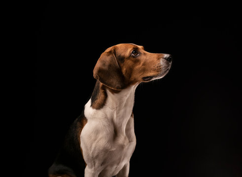 Portrait of a hunting dog made in the studio on a black background. Male Estonian hound, three years old.