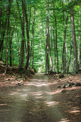 Foto op Canvas Natuur Beech grove landscape with a walkway path