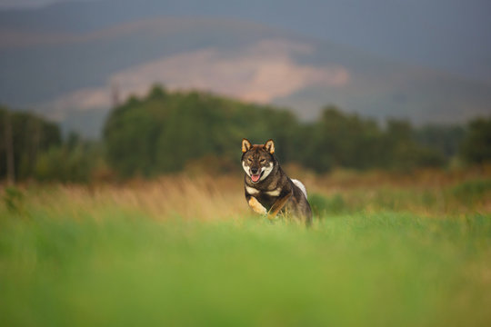 Cute, happy and crazy Young Shikoku Dog running fast In the Meadow at sunset.