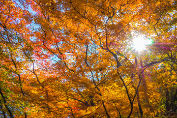 Colourful red and yellow maple leafe under the maple tree during autumn in South Korea,Maple red background..