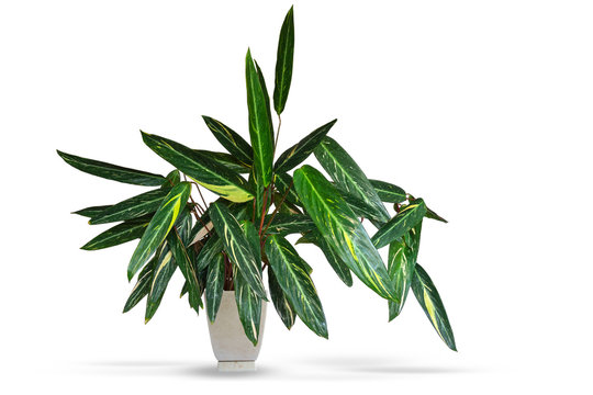 Tropical plant Stromantha in a flower pot. Decoration for home and office. Isolated on white background