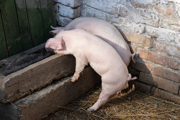 Two month old pigs crawl into a feeding trough