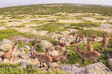 Group of wild goats, ibex pyrenaica, resting on some rocks in a mountain.