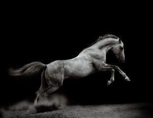 Beautiful silver-white stallion on black