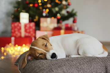 Jack Russell terrier as christmas present for children concept. Two months old adorable doggy on the cushion by the holiday tree with wrapped gift boxes. Festive background, close up, copy space.