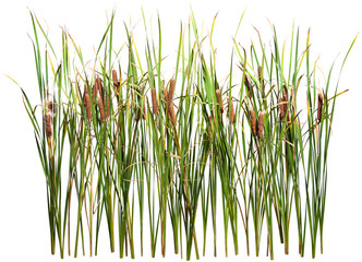 Cattail and reed plant isolated on white background Wall mural