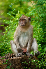 Long-tailed Macaque - Macaca fascicularis also known as crab-eating macaque, a cercopithecine primate native to Southeast Asia, is referred to as the cynomolgus monkey