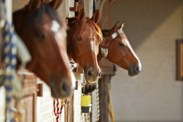 Fototapeta Three brown horses in the stable