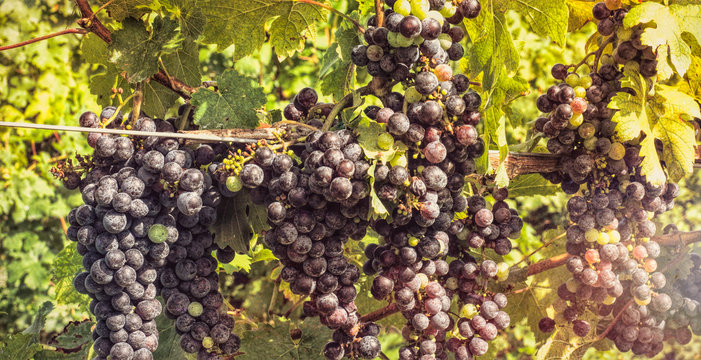 Bunch of grapes in the vine with sunburst effect