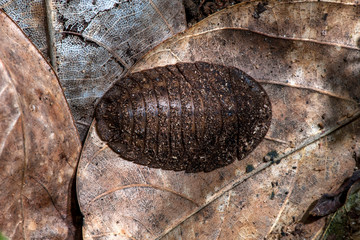 Cockroach photographed in the city of Cariacica, Espirito Santo. Southeast of Brazil. Atlantic Forest Biome. Picture made in 2012