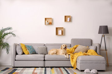 Modern living room interior. Cute Golden Labrador Retriever on couch - fototapety na wymiar