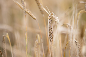 Young wheat grows on the field.