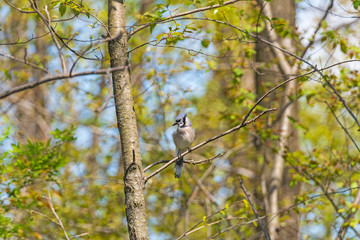Blue Jay Looking for Food in the Forest