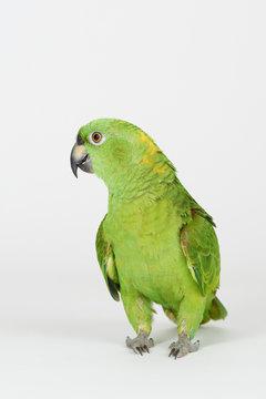 Crazy green color parrot