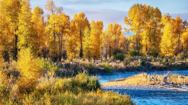 A beautiful autumn landscape scene with a forest of cottonwood trees in Grand Teton National Park, Jackson Hole, Wyoming.