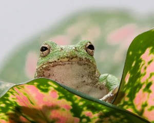 Tree Frog Looking Up from a Colorful Leaf