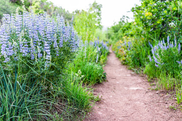 Wall Murals Green Many purple blue lupine flowers along dirt road path on Sunnyside trail hike during early 2019 summer spring in Aspen, Colorado